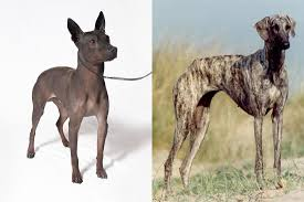American Hairless Terreir and Sloughi