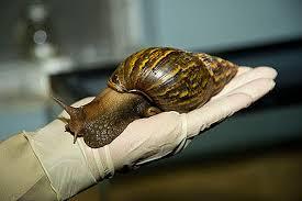 African land snail