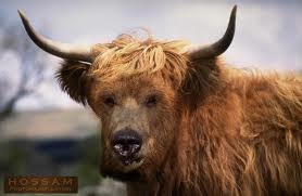 Cow with bear face