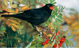 Blackbirds eating fermented berries