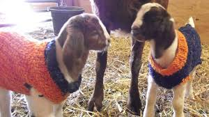 Baby Goats Wearing Bronco Sweaters