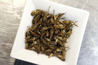 Bugs used for human food