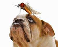 Bulldog with Mosquito on Nose