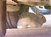 Rabbit under car