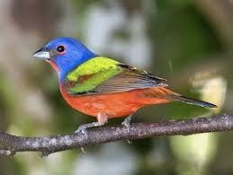 Male Bunting Bird