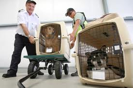 Dogs being loaded in plane's cargo