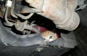 Cat in car engine