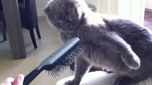 Cat Hates Brush
