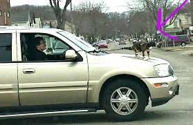 Cat Riding on Hood of Car