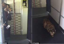 Cat Loose on Airplane