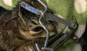 Cat Caught in Trap