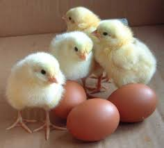 Baby chicks with eggs