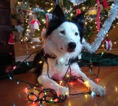 Dog with Christmas Lights