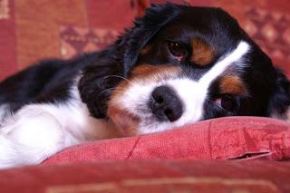 Dog with Circovirus