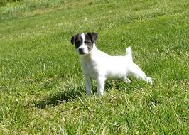 Cloned Jack Russell