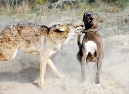 Coyote Attacking Dog