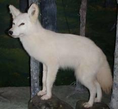 White Coyote