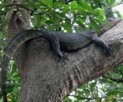 Crocodile in Tree