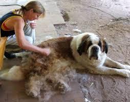 Deshedding a dog