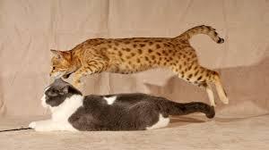 Designer Hybrid Cat