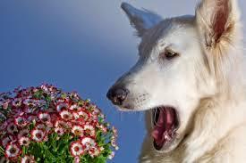 Dog Sneezing at Flowers