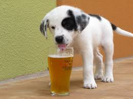 Dog Drinking Beer