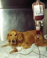 Dog Donating Blood
