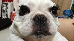 Dog Wearing Fake Eyelashes