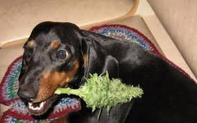 Dog Chewing on Marijuana Plant