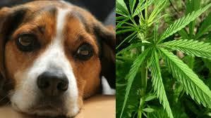 Dog and Marijuana