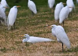 Texas Egrets