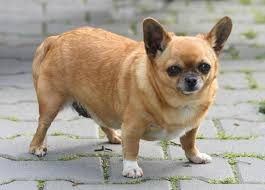 Obese Chihuahua
