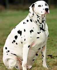 Overweight Dalmation