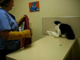 Fearful Cat in Exam Room