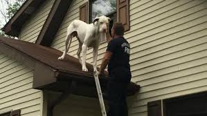 Great Dane on Roof