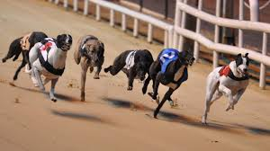 Greyhounds on Racetrack