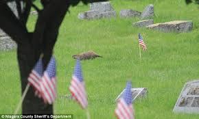Groundhog in Cemetery