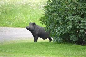 Black Guinea Hog