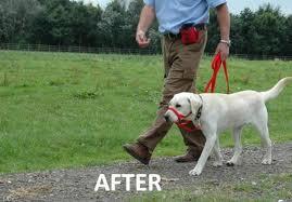 Dog corrected with Halti collar