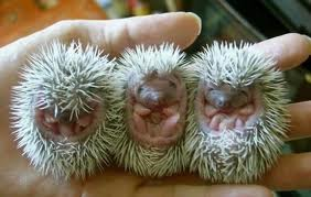 Three Hedgehogs in a hand