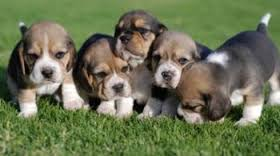 IVF Puppies
