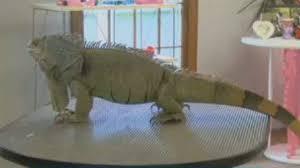 Iguana Guard