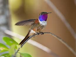 Inaguan Woodstar Hummingbird