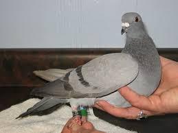Japanese Pigeon