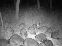 Junk Food Raccoon Colony