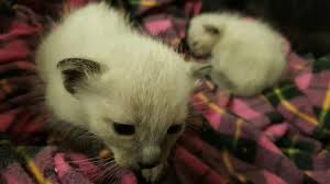 Cloned Kittens