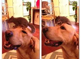 Lab with squirrel on his head
