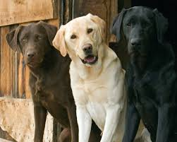 Chocolate, Yellow & Black Labradors