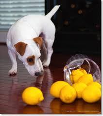 Dog with lemons