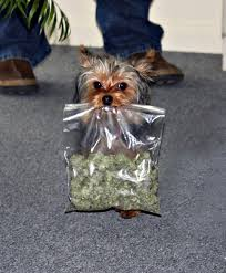 Yorkie with bag of mariuana